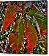 Woodbine Autumn Colors Acrylic Print
