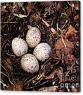 Woodcock Nest And Eggs Acrylic Print