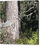 Woodland Great Blue Heron Acrylic Print