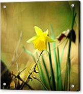 Woodland Narcissus Acrylic Print