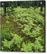 Woodland View In A Pine Forest Acrylic Print