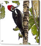 Woodpecker 1 Acrylic Print