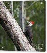 Woodpecker Sizes Me Up Acrylic Print