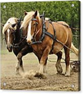 Working Horse Acrylic Print by Conny Sjostrom
