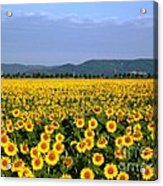 World Of Sunflowers Acrylic Print