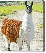 Wyoming Llama - El Tuffo Acrylic Print