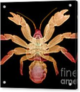 X-ray Of Coconut Crab Acrylic Print
