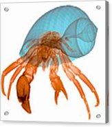 X-ray Of Hermit Crab Acrylic Print