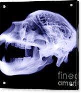 X-ray Of Kodiak Bear Skull Acrylic Print