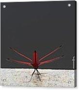 X Wing Dragonfly Acrylic Print