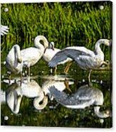Y-m-c-a Swans Acrylic Print