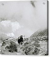 Yak In The Himalaya Acrylic Print