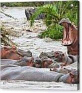 Yawning Hippo Hippopotamus Amphibius Acrylic Print