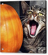 Yawning Vineyard Cat Acrylic Print