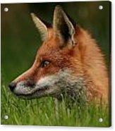 Yearling Fox Acrylic Print by Jacqui Collett