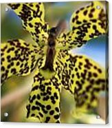 Yellow And Black Spotted Orchid Acrylic Print
