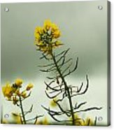 Yellow And Grey Acrylic Print by Jacqui Collett