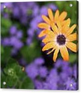 Yellow And Purple Acrylic Print