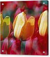 Yellow And Red Tulip Blooms Acrylic Print