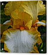 Yellow And White Iris Acrylic Print