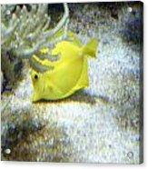 Yellow Angelfish Acrylic Print