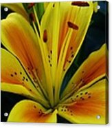 Yellow Asiatic Lily Acrylic Print