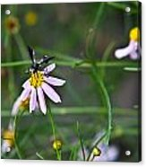 Yellow Banded Black Winged Fly 1 Acrylic Print