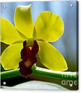 Yellow Beauty Acrylic Print by Pravine Chester