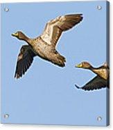 Yellow-billed Duck Anas Undulata Pair Acrylic Print