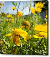 Yellow Blooming Wildflowers Acrylic Print