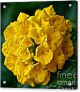 Yellow Blooms Acrylic Print