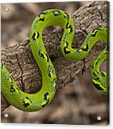 Yellow-blotched Palm Pitviper Acrylic Print