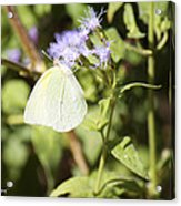 Yellow Butterfly Feeding On Violet Flower Acrylic Print