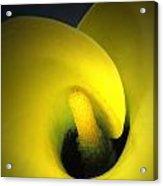 Yellow Calla Lily 1 Acrylic Print