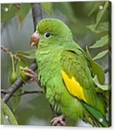 Yellow-chevroned Parakeet Brotogeris Acrylic Print