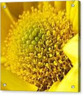 Yellow Chrysanthemum Acrylic Print