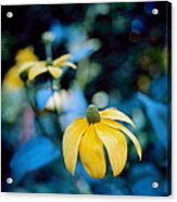Yellow Cone Flower On Blue Background Acrylic Print by Marcio Faustino