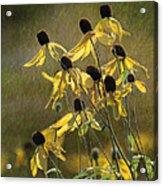 Yellow Coneflowers Acrylic Print