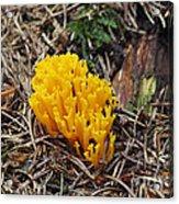 Yellow Coral Mushroom Acrylic Print