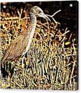 Yellow Crowned Night Heron Acrylic Print