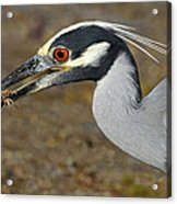 Yellow Crowned Night Heron With Catch Acrylic Print