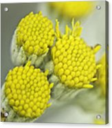 Yellow Cup Buds 1 Acrylic Print