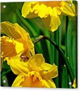 Yellow Daffodils And Honeybee Acrylic Print