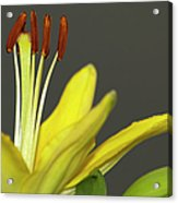 Yellow Day Lily Acrylic Print