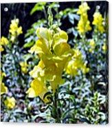 Yellow Dragons Acrylic Print