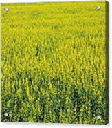 Yellow Field Of Canola Acrylic Print