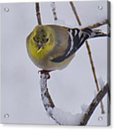 Yellow Finch Cold Snow Acrylic Print