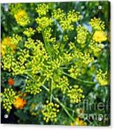 Yellow Firework Or Dill In Its Glory Acrylic Print