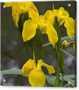 Yellow Flag Iris (iris Pseudacorus) Acrylic Print