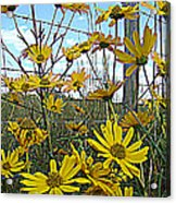 Yellow Flowers By The Roadside Acrylic Print
